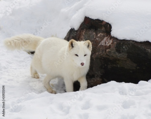 obraz dibond zorro blanco nieve