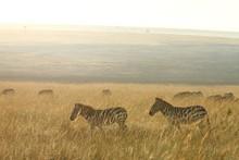 Herd Of Zebras On The Grass Co...