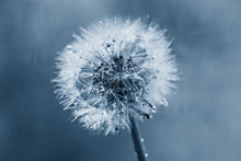 White Fluffy Dandelion In Water Droplets After Rain In Classic Blue