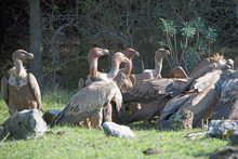 Griffon Vulture At Dinner On D...