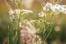 Yarrow Plant (Achillea Millefo...
