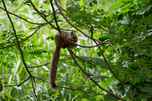 Photo squirrel eating green leaves on a tree