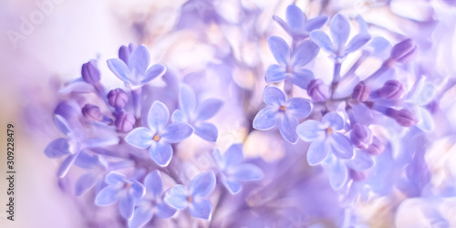 Beautiful delicate spring border of lilac flowers. Selective soft focus.