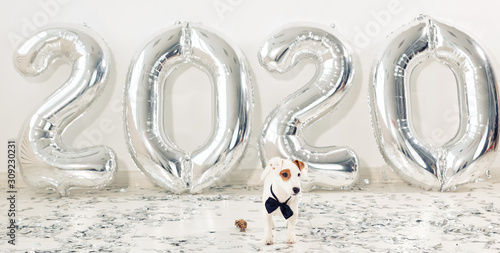 Jack russell terrier dog with balloons in the form of numbers 2020 Canvas Print