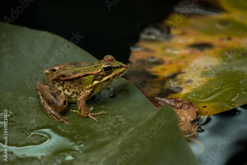 Photo Rã na folha verde