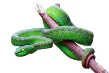 Large-eyed Pit Viper Or Trimer...