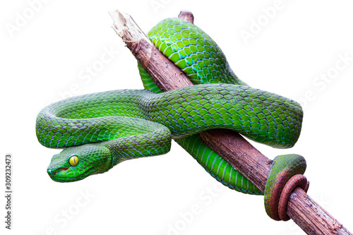 Cuadros en Lienzo Large-eyed Pit Viper or Trimeresurus macrops, beautiful green snake coiling resting on tree branch with white background and clipping path