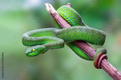 Large-eyed Pit Viper or Trimeresurus macrops, beautiful green snake coiling resting on tree branch with green background , Thailand Fotobehang