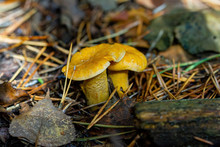Mushrooms Chanterelles In The ...
