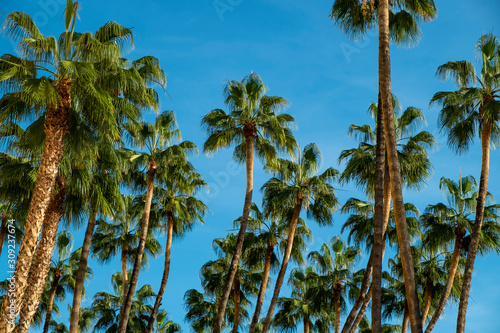 Palms swaying in the wind, sunset, low angle view , Malaga, Anadalucia, Spain Canvas Print