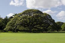 Monkeypod Tree In Honolulu, Hawaii