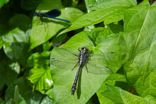 Dragonfly Common Clubtail On G...