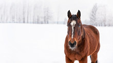 Dark Brown Horse Walks On Snow Covered Field, Detail At Head From Front