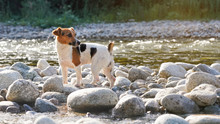Small Jack Russell Terrier Walks Over Round Stones Near River On Sunny Day