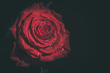 Beautiful Red Rose In Dark Col...
