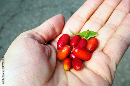 Fényképezés Cornelian cherry, cornus mas or dogwood berries in hand, selective focus