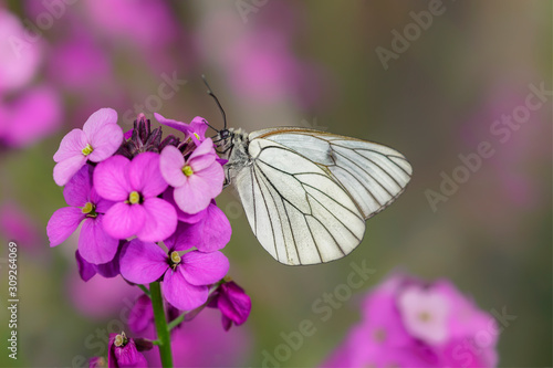 Beautiful Black-Veined White butterfly (Aporia crataegi), on pink flower Canvas Print