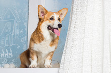 Welsh Corgi Dog On The Windows...