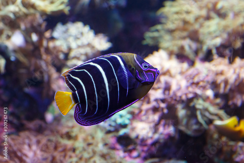 Photo Goldtail angelfish (Pomacanthus chrysurus) close-up