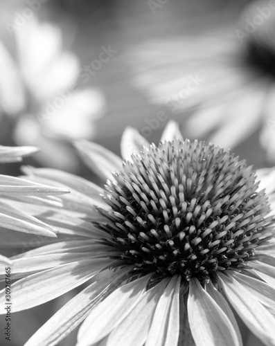 Black and white coneflower for background, card