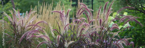 Fototapeta Purple fountain grass horizontal banner beckoning one into a mesmerizing gardenscape  obraz