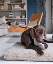 Labrador Welpe Spielt Zuhause Mit Einem Spielzeug