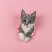 The Kitten Is Looking Through Torn Hole In Pink Paper. Playful Mood Kitty. Unusual Concept, Copy Space.