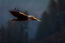 The Evening Hunt Of A Bald Eagle