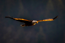 Sunlit Bald Eagle