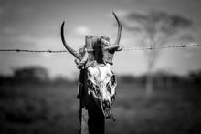 Dead Animal Skull Bull In The ...