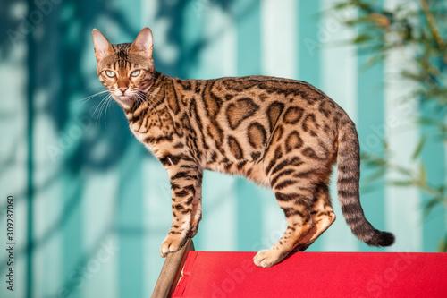 Bengal Cat Outdoor Wallpaper Mural