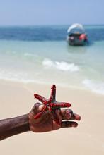 Red Starfish In Hand
