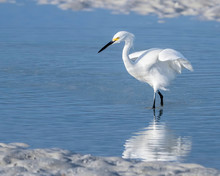 Snowy Egret In The Shallow Wat...
