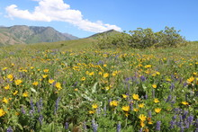 Wasatch Mountain Foothills Wil...