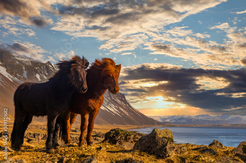 Fototapeta Icelandic horses. The Icelandic horse is a breed of horse developed in Iceland. obraz