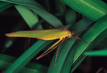 Green Long-horned Grasshopper....