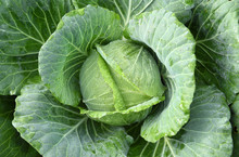 Close-up Of Fresh Cabbage In The Vegetable Garden, Flatlay Or Top View Of Fresh Lettuce In The Farm.