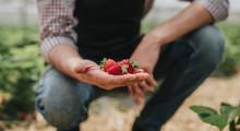 Ripe Strawberry In Hand Of Gar...