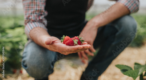 Ripe strawberry in hand of gardener in greenhouse Wallpaper Mural