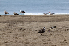 Seagulls And Terns On Sandy Beach With Ocean Background