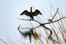 Wide Wings Spread Perched On A Branch The Cormorant Suns