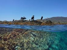 Several Cormorant Birds Resting On A Rock, Split View Over And Under Water Surface, Mediterranean Sea, Spain, Costa Brava, Catalonia, Cap De Creus