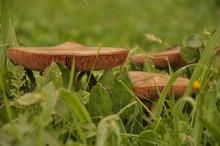 Close Up Group Of Mushroom In The Nature Macro Of Volvariella Gloiocephala Volvariella Speciosa Detail
