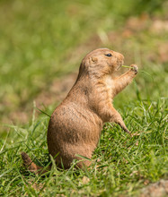 Black Tailed Prairie Dog On Grass Eating Some