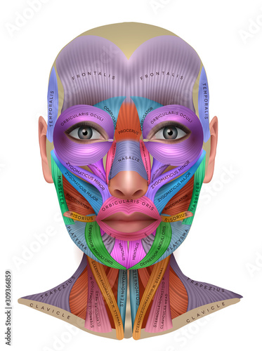Fototapeta Muscles of the face, colorful anatomy info poster