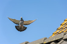 The Racing Pigeon Hovers In Th...