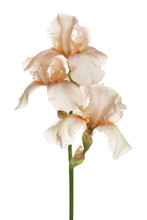 Delicate Iris Flower Isolated On A White Background.