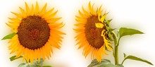 Collage Of Sunflowers