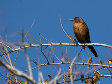 Female Bronzed Grackle Perched On Branch