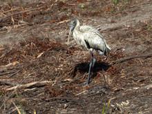 Wood Stork Looks Grumpy